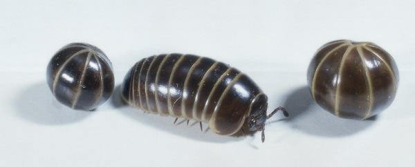 1695077-pill_bug