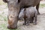 Baby-Rhino-