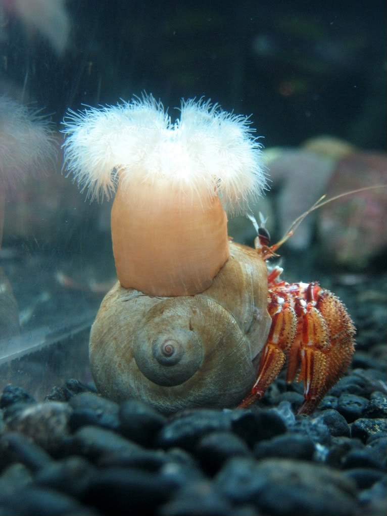hermit crab and snail symbiotic relationship