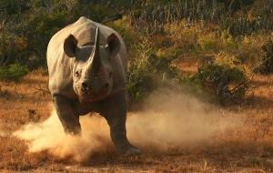 black-rhino-charge