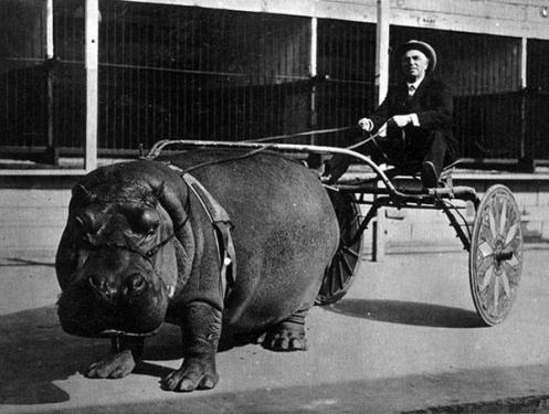 hippo-cart