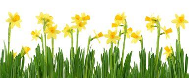 daffodil-row