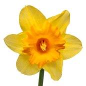 daffodil-yellow-25